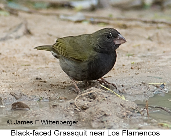 Black-faced Grassquit - © James F Wittenberger and Exotic Birding LLC