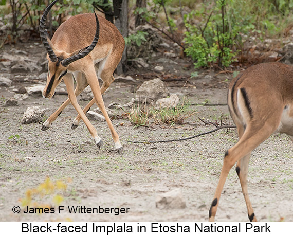 Black-faced Impala - © Laura L Fellows and Exotic Birding Tours