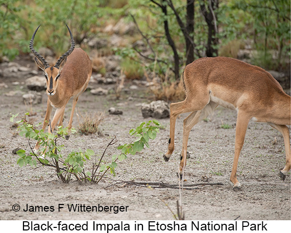 Black-faced Impala - © The Photographer and Exotic Birding LLC