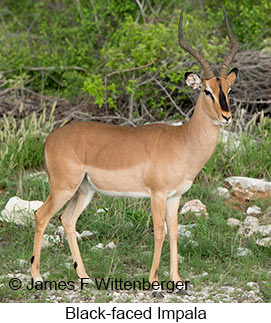 Black-faced Impala - © James F Wittenberger and Exotic Birding LLC