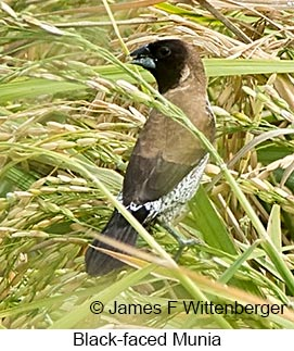 Black-faced Munia - © James F Wittenberger and Exotic Birding Tours