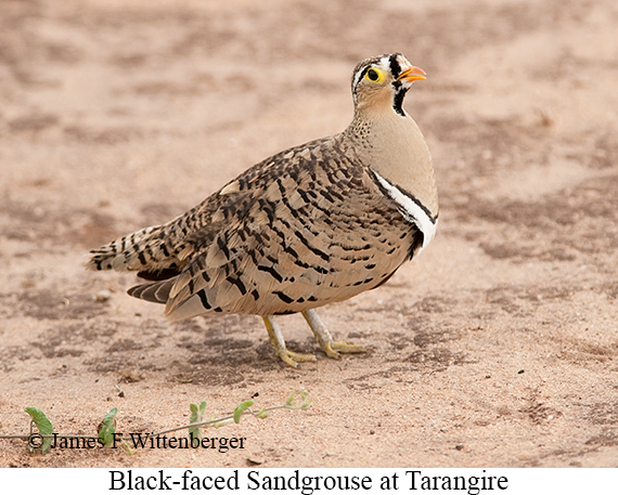 Black-faced Sandgrouse - © James F Wittenberger and Exotic Birding LLC
