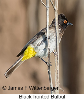 Black-fronted Bulbul - © James F Wittenberger and Exotic Birding LLC