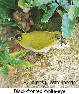 Black-fronted White-eye - © James F Wittenberger and Exotic Birding Tours