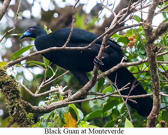 Black Guan - © Laura L Fellows and Exotic Birding Tours