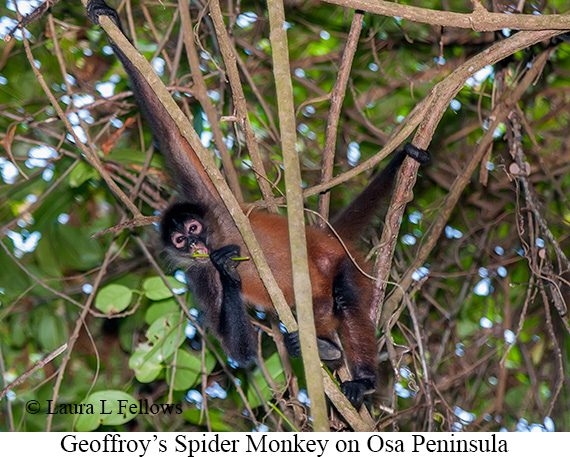 Black-handed Spider Monkey - © Laura L Fellows and Exotic Birding Tours