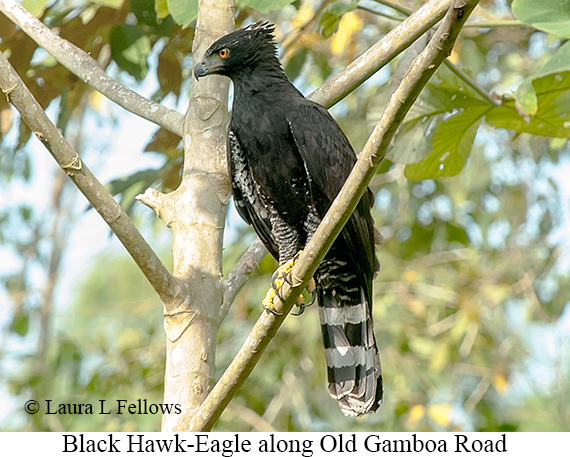 Black Hawk-Eagle - © Laura L Fellows and Exotic Birding LLC