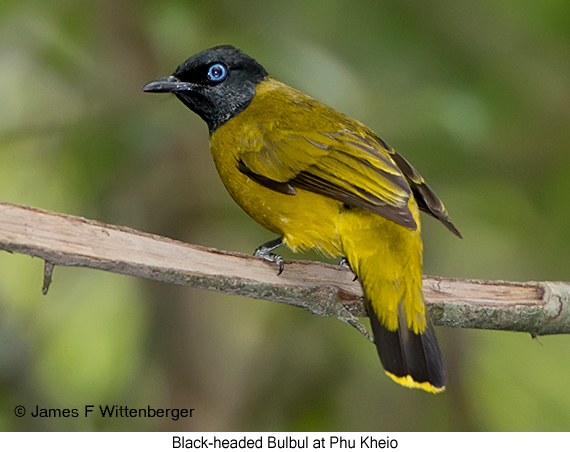 Black-headed Bulbul - © James F Wittenberger and Exotic Birding Tours