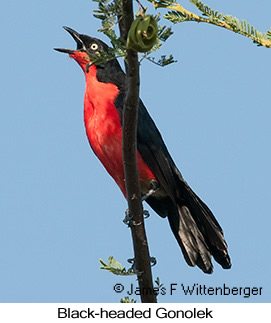 Black-headed Gonolek - © James F Wittenberger and Exotic Birding Tours
