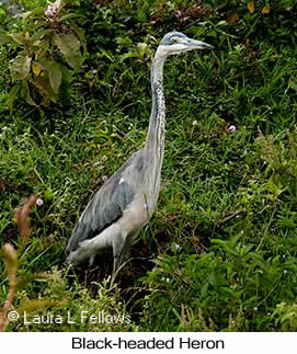 Black-headed Heron - © Laura L Fellows and Exotic Birding LLC