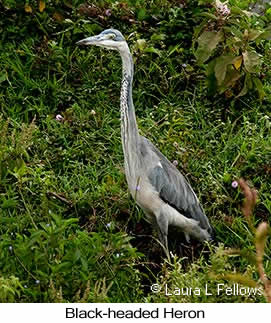 Black-headed Heron - © Laura L Fellows and Exotic Birding Tours