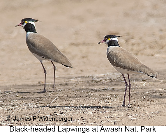 Black-headed Lapwing - © James F Wittenberger and Exotic Birding LLC