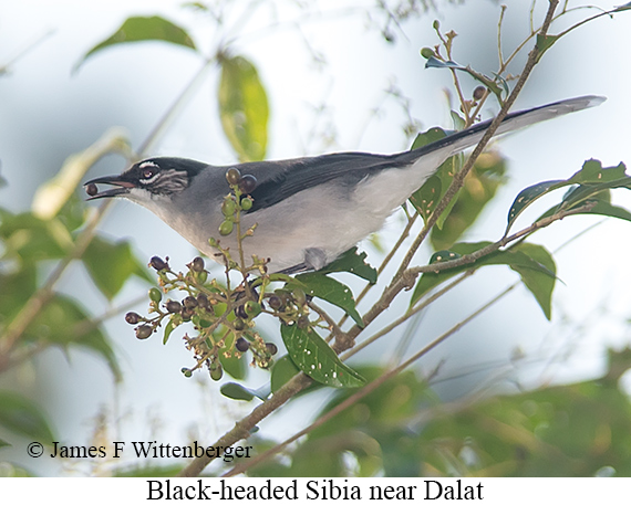 Black-headed Sibia - © The Photographer and Exotic Birding LLC