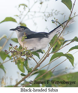 Black-headed Sibia - © James F Wittenberger and Exotic Birding Tours