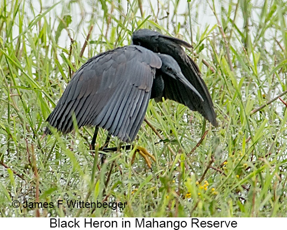 Black Heron - © Laura L Fellows and Exotic Birding Tours
