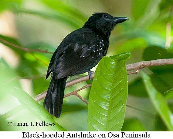 Black-hooded Antshrike - © Laura L Fellows and Exotic Birding LLC