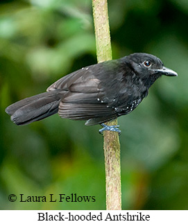 Black-hooded Antshrike - © Laura L Fellows and Exotic Birding Tours