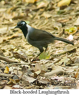 Black-hooded Laughingthrush - © James F Wittenberger and Exotic Birding Tours