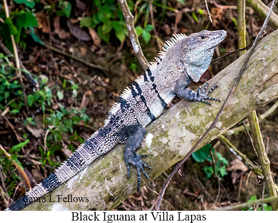 Black Iguana - © Laura L Fellows and Exotic Birding Tours