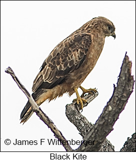 Black Kite - © James F Wittenberger and Exotic Birding LLC