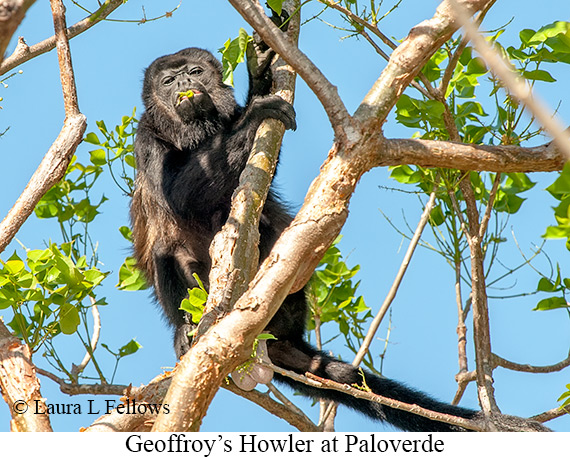 Black-mantled Howler Monkey - © Laura L Fellows and Exotic Birding Tours