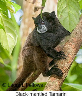 Black-mantled Tamarin - © Laura L Fellows and Exotic Birding LLC