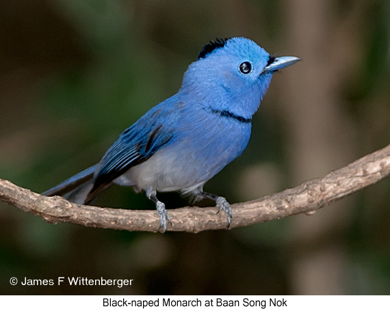 Black-naped Monarch - © James F Wittenberger and Exotic Birding Tours