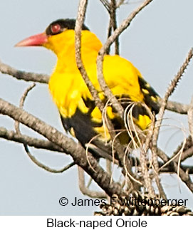 Black-naped Oriole - © James F Wittenberger and Exotic Birding Tours