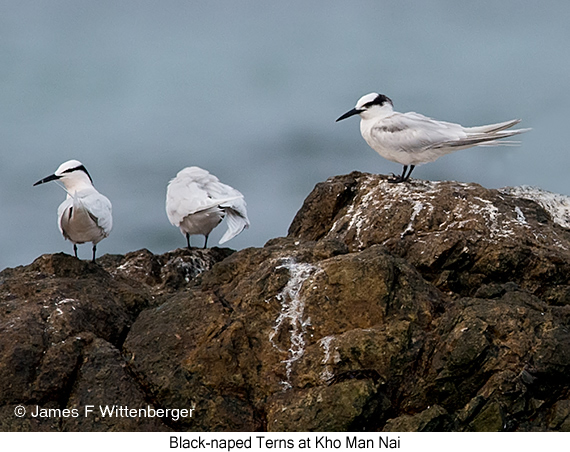 Black-naped Tern - © James F Wittenberger and Exotic Birding Tours