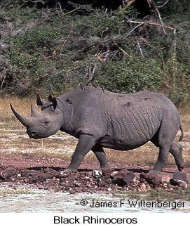 Black Rhinoceros - © James F Wittenberger and Exotic Birding Tours