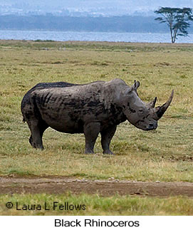 Black Rhinoceros - © Laura L Fellows and Exotic Birding Tours
