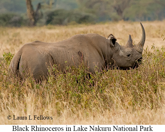 Black Rhinoceros - © The Photographer and Exotic Birding LLC