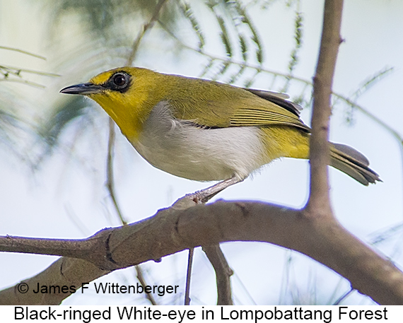 Black-ringed White-eye - © The Photographer and Exotic Birding LLC