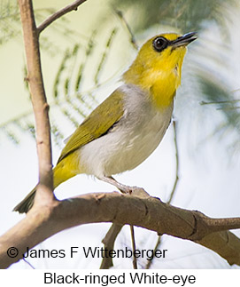 Black-ringed White-eye - © James F Wittenberger and Exotic Birding Tours