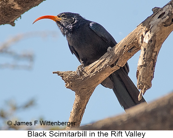 Black Scimitarbill - © James F Wittenberger and Exotic Birding LLC