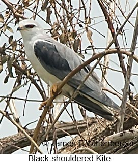 Black-shouldered Kite - © James F Wittenberger and Exotic Birding LLC