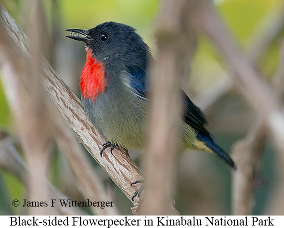Black-sided Flowerpecker - © James F Wittenberger and Exotic Birding Tours