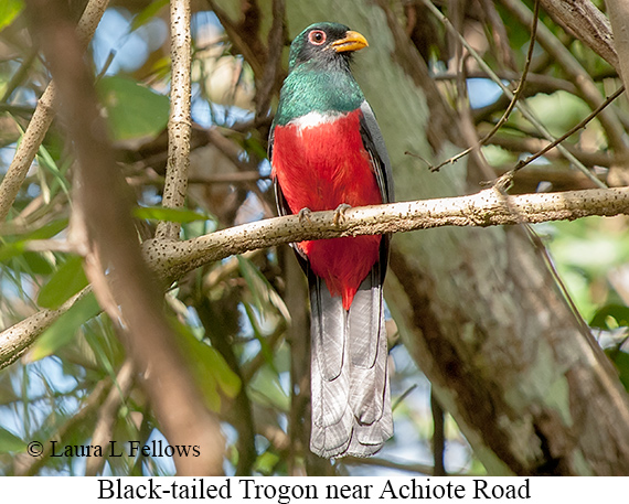 Black-tailed Trogon - © Laura L Fellows and Exotic Birding LLC