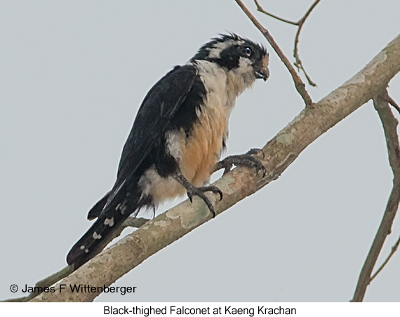 Black-thighed Falconet - © James F Wittenberger and Exotic Birding Tours
