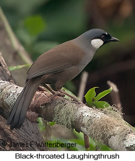 Black-throated Laughingthrush - © James F Wittenberger and Exotic Birding Tours