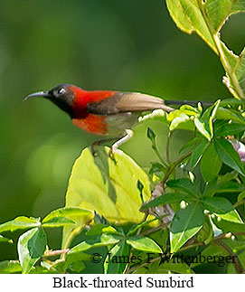 Black-throated Sunbird - © James F Wittenberger and Exotic Birding Tours