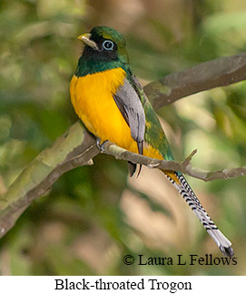 Black-throated Trogon - © Laura L Fellows and Exotic Birding Tours