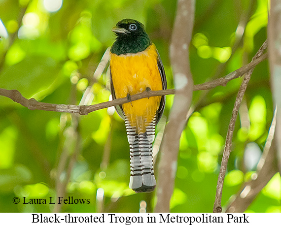 Black-throated Trogon - © Laura L Fellows and Exotic Birding LLC