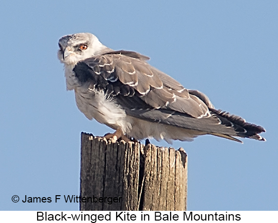 Black-winged Kite - © James F Wittenberger and Exotic Birding LLC