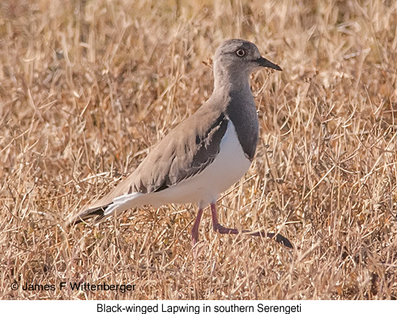 Black-winged Lapwing - © James F Wittenberger and Exotic Birding LLC