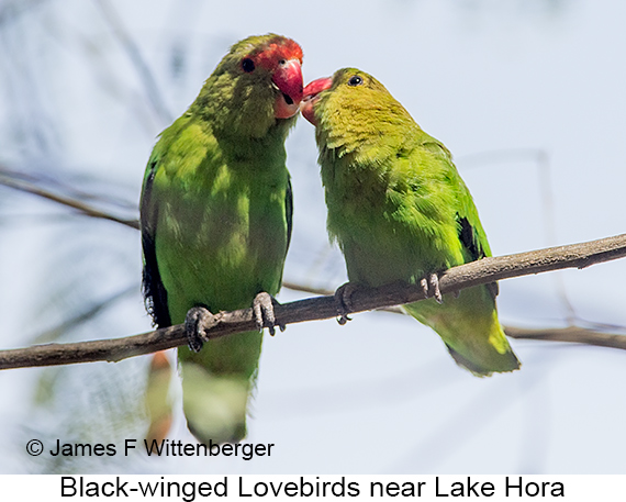 Black-winged Lovebird - © The Photographer and Exotic Birding LLC