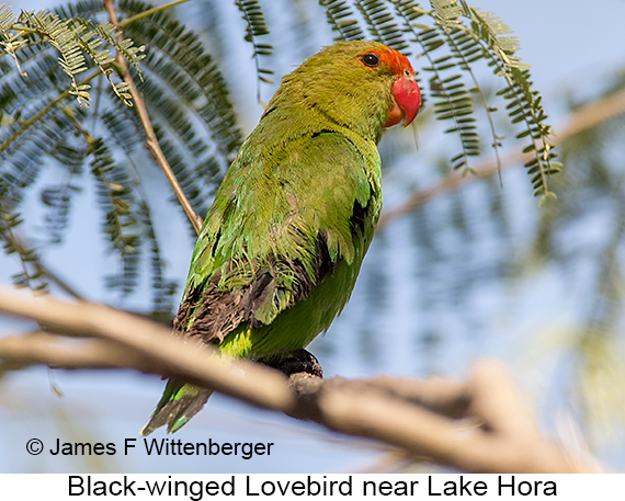 Black-winged Lovebird - © James F Wittenberger and Exotic Birding LLC