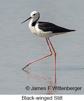 Black-winged Stilt - © James F Wittenberger and Exotic Birding Tours
