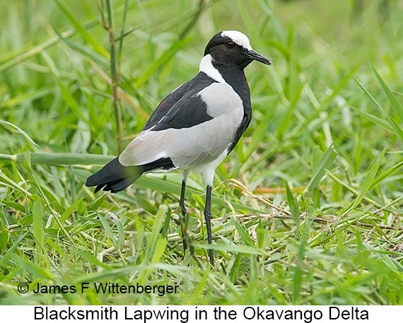 Blacksmith Lapwing - © James F Wittenberger and Exotic Birding LLC