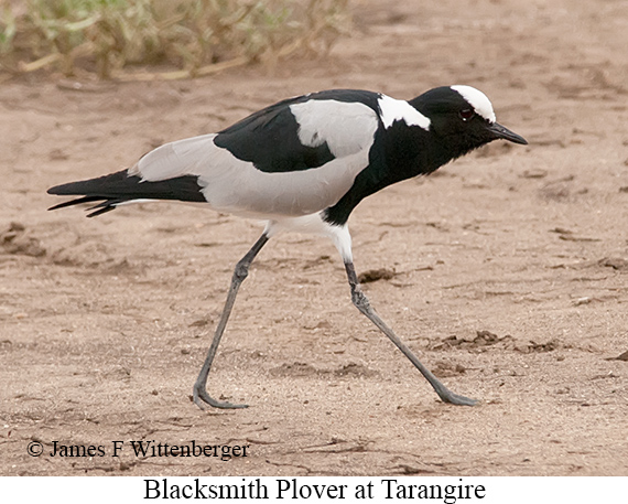 Blacksmith Lapwing - © The Photographer and Exotic Birding LLC